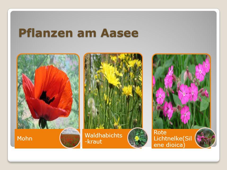 Pflanzen am Aasee Mohn Waldhabichts- kraut Rote Lichtnelke(Silen e dioica)