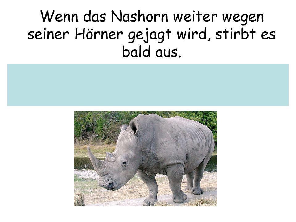 Wenn das Nashorn weiter wegen seiner Hörner gejagt wird, stirbt es bald aus.