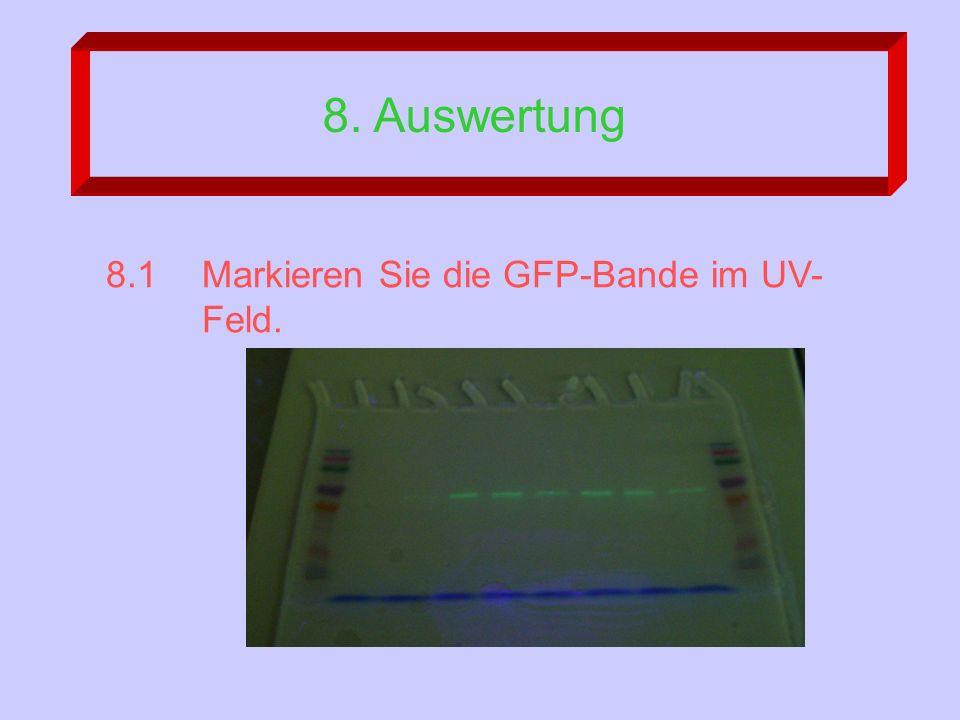 8. Auswertung 8.1Markieren Sie die GFP-Bande im UV- Feld.