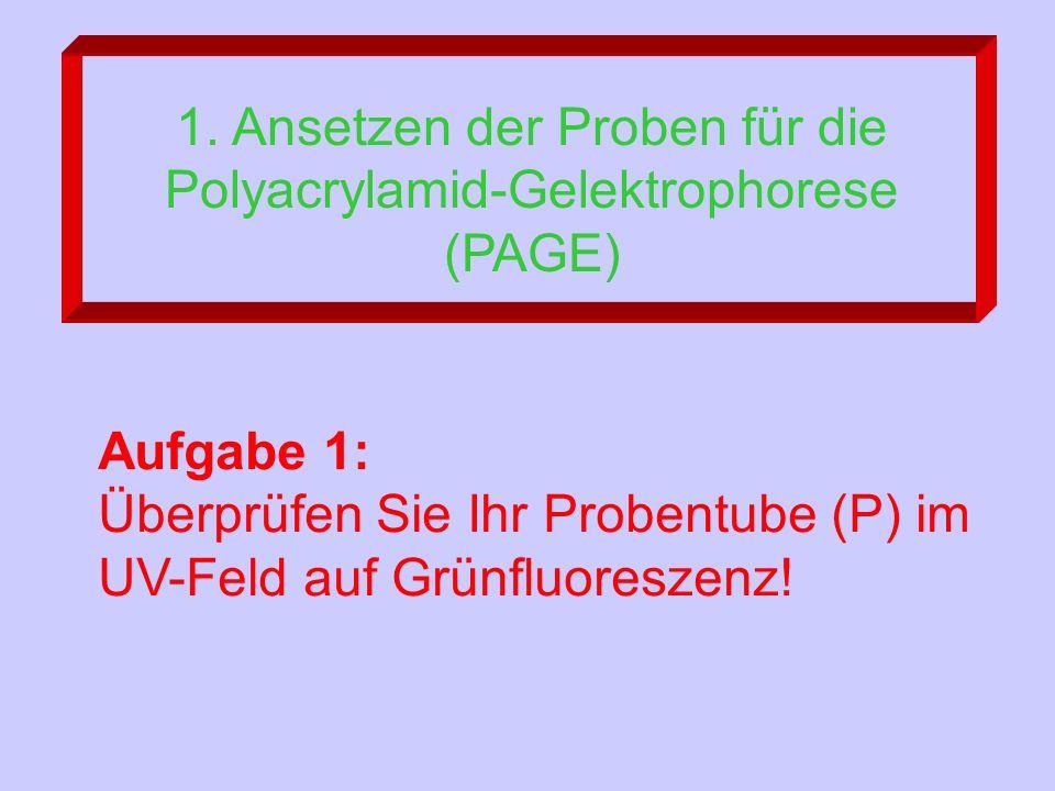 1. Ansetzen der Proben für die Polyacrylamid-Gelektrophorese (PAGE) Aufgabe 1: Überprüfen Sie Ihr Probentube (P) im UV-Feld auf Grünfluoreszenz!