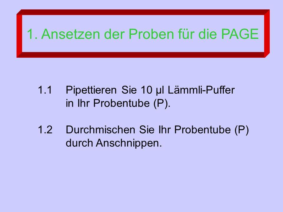 1. Ansetzen der Proben für die PAGE 1.1 Pipettieren Sie 10 µl Lämmli-Puffer in Ihr Probentube (P).