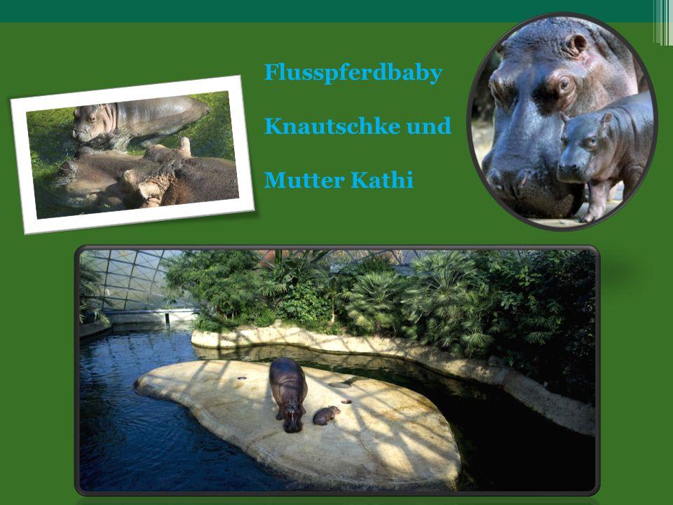 Flusspferdbaby Knautschke und Mutter Kathi