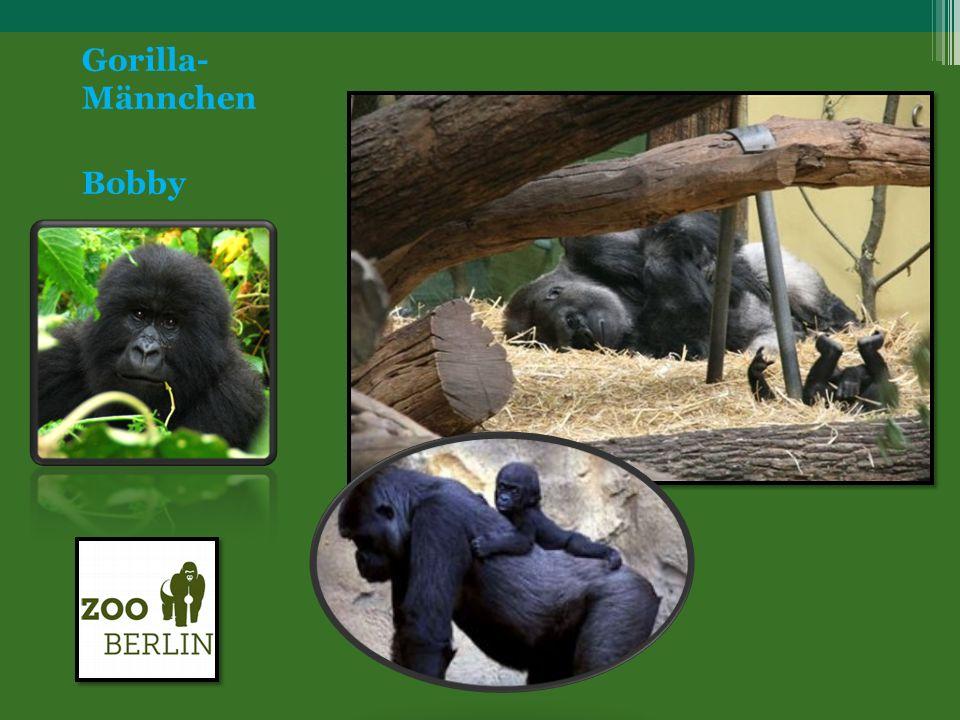 Gorilla- Männchen Bobby