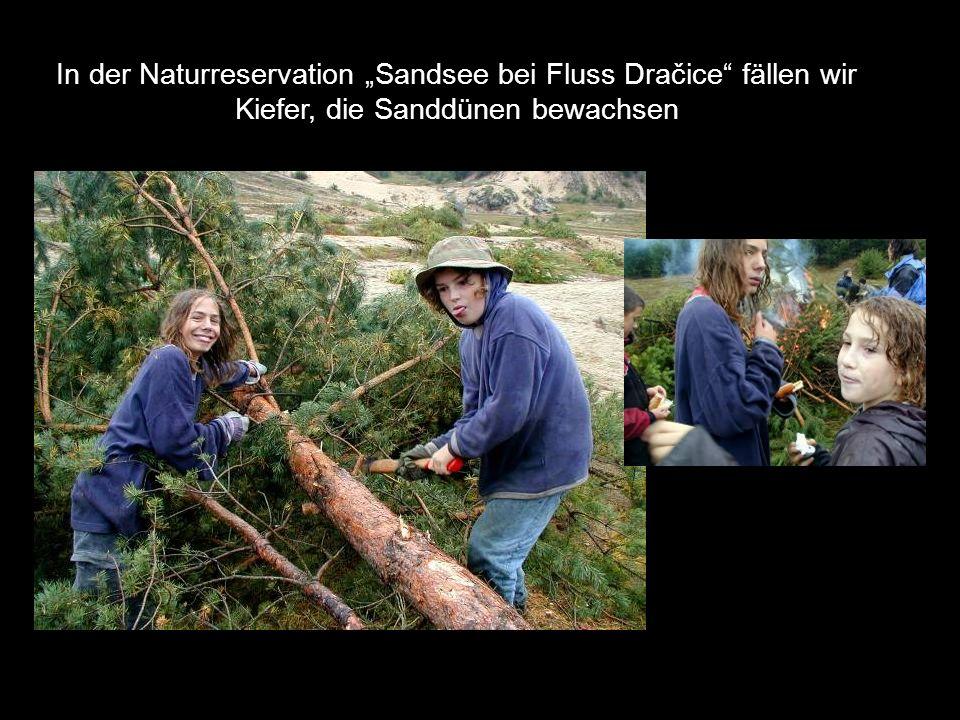 """In der Naturreservation """"Sandsee bei Fluss Dračice"""" fällen wir Kiefer, die Sanddünen bewachsen"""
