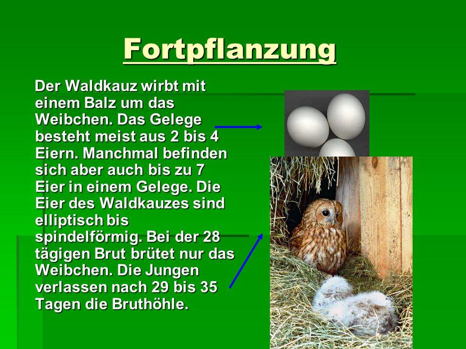 Fortpflanzung Fortpflanzung Der Waldkauz wirbt mit einem Balz um das Weibchen. Das Gelege besteht meist aus 2 bis 4 Eiern. Manchmal befinden sich aber