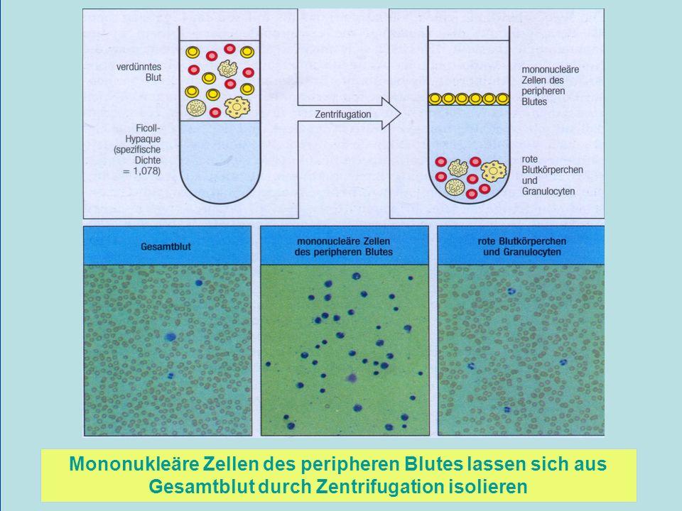 Mononukleäre Zellen des peripheren Blutes lassen sich aus Gesamtblut durch Zentrifugation isolieren