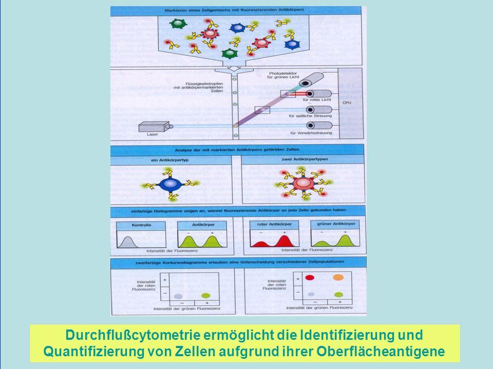 Durchflußcytometrie ermöglicht die Identifizierung und Quantifizierung von Zellen aufgrund ihrer Oberflächeantigene