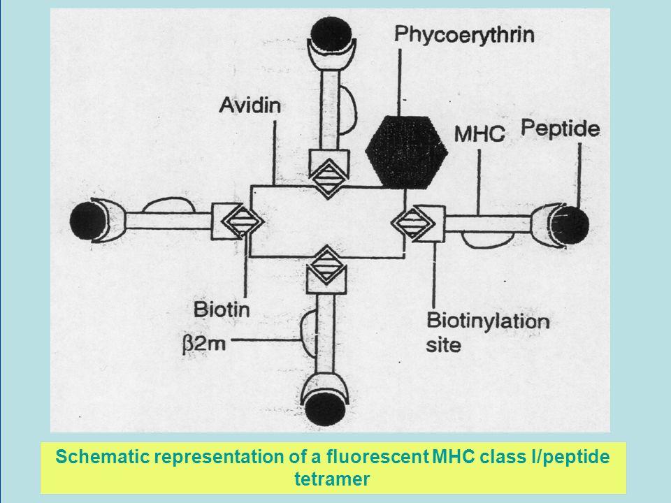 Schematic representation of a fluorescent MHC class I/peptide tetramer