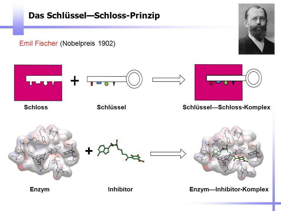 Das Schlüssel—Schloss-Prinzip Emil Fischer (Nobelpreis 1902) SchlossSchlüsselSchlüssel—Schloss-Komplex EnzymInhibitorEnzym—Inhibitor-Komplex +