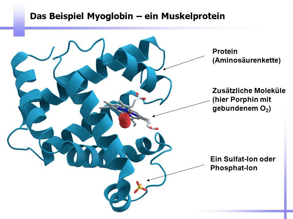 Das Beispiel Myoglobin – ein Muskelprotein Protein (Aminosäurenkette) Zusätzliche Moleküle (hier Porphin mit gebundenem O 2 ) Ein Sulfat-Ion oder Phos