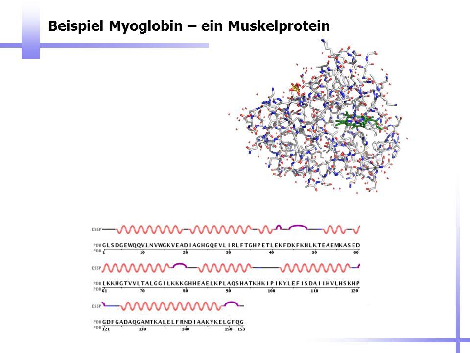 Beispiel Myoglobin – ein Muskelprotein