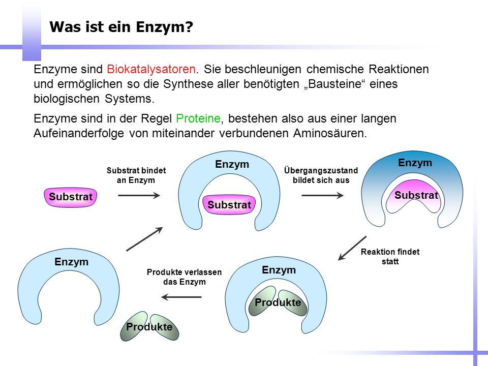 """Was ist ein Enzym? Enzyme sind Biokatalysatoren. Sie beschleunigen chemische Reaktionen und ermöglichen so die Synthese aller benötigten """"Bausteine"""" e"""