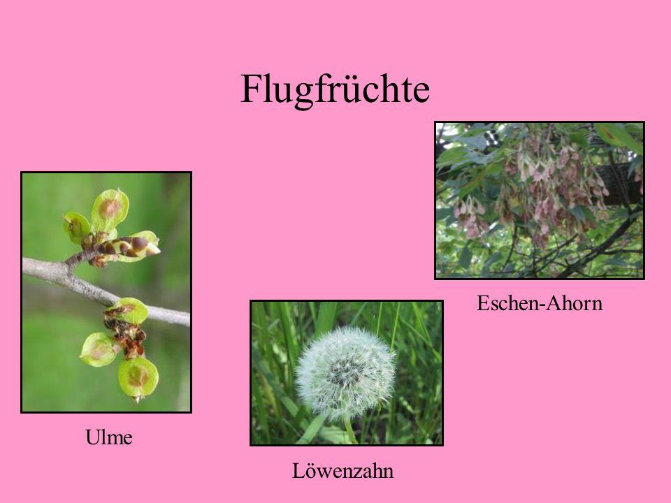 Flugfrüchte - haben Flugeinrichtungen oder sind sehr leicht - werden vom Wind verbreitet Buchecker