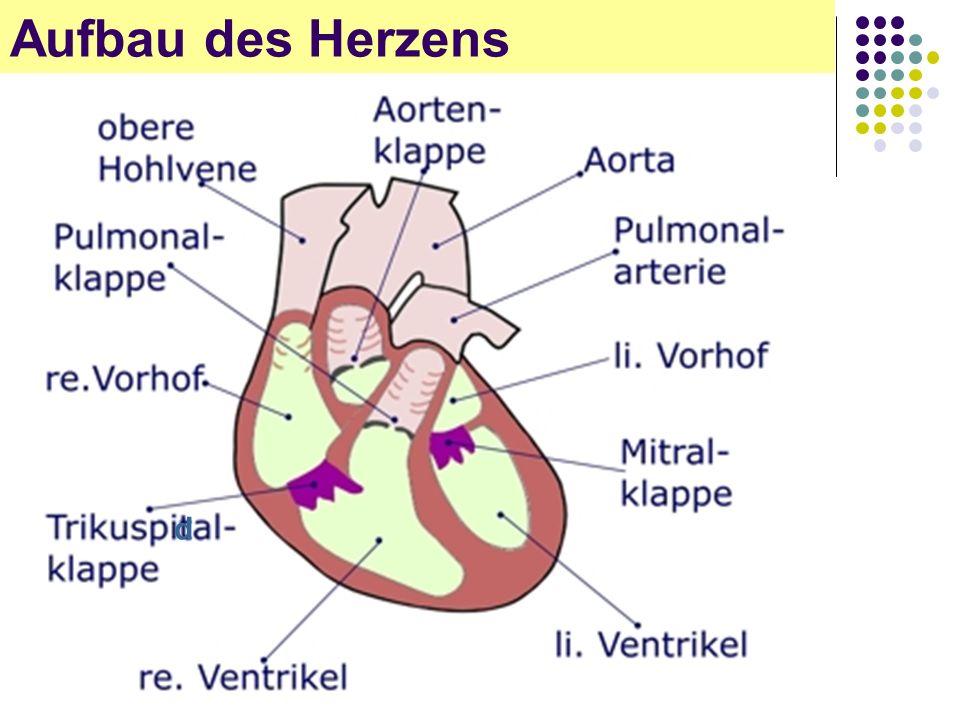 Aufbau des Herzens d