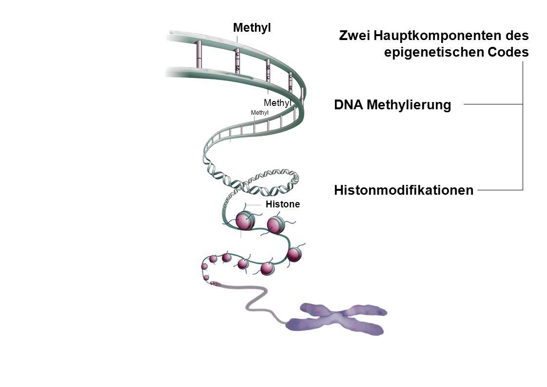 aus Qiu, Nature 2006; 441, 143-145 Methyl Histone Methyl Zwei Hauptkomponenten des epigenetischen Codes DNA Methylierung Histonmodifikationen