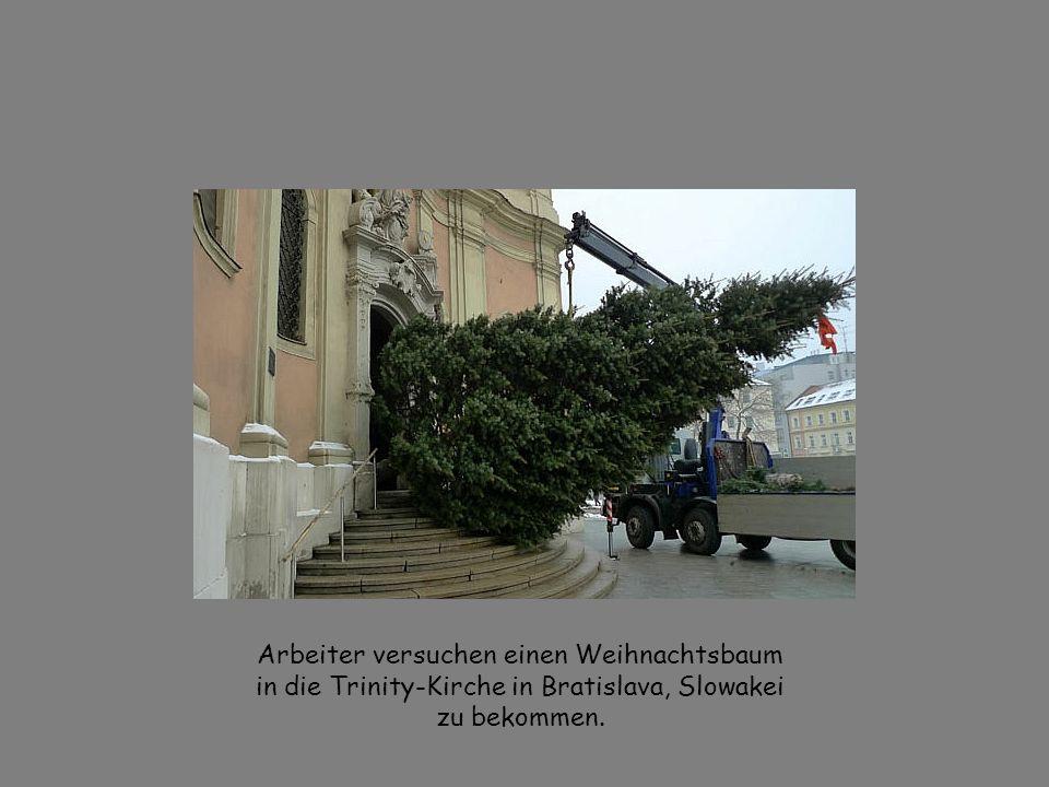 Arbeiter versuchen einen Weihnachtsbaum in die Trinity-Kirche in Bratislava, Slowakei zu bekommen.