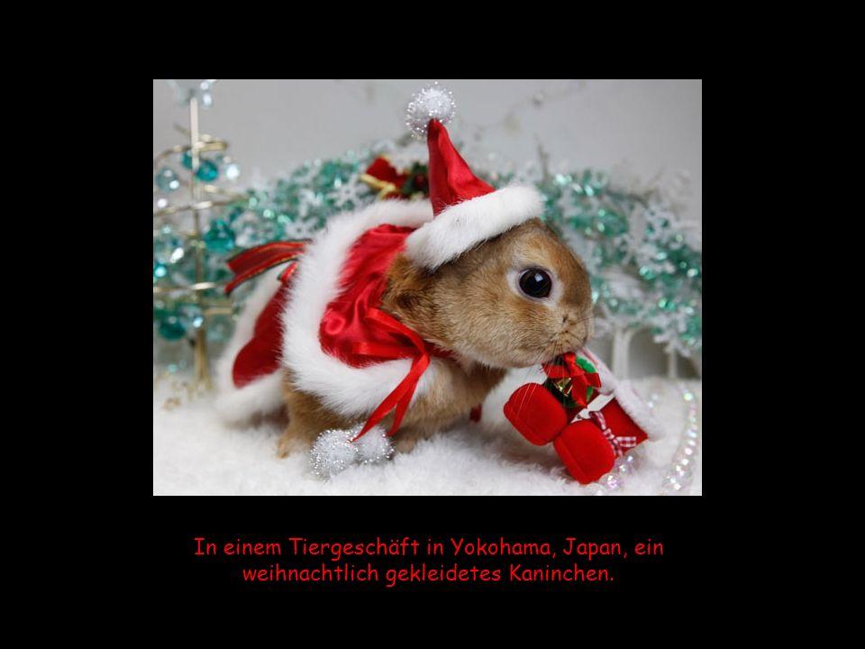 In einem Tiergeschäft in Yokohama, Japan, ein weihnachtlich gekleidetes Kaninchen.