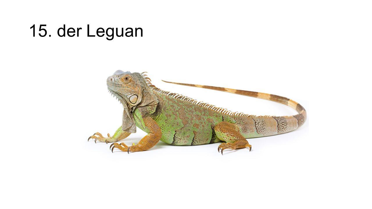 15. der Leguan