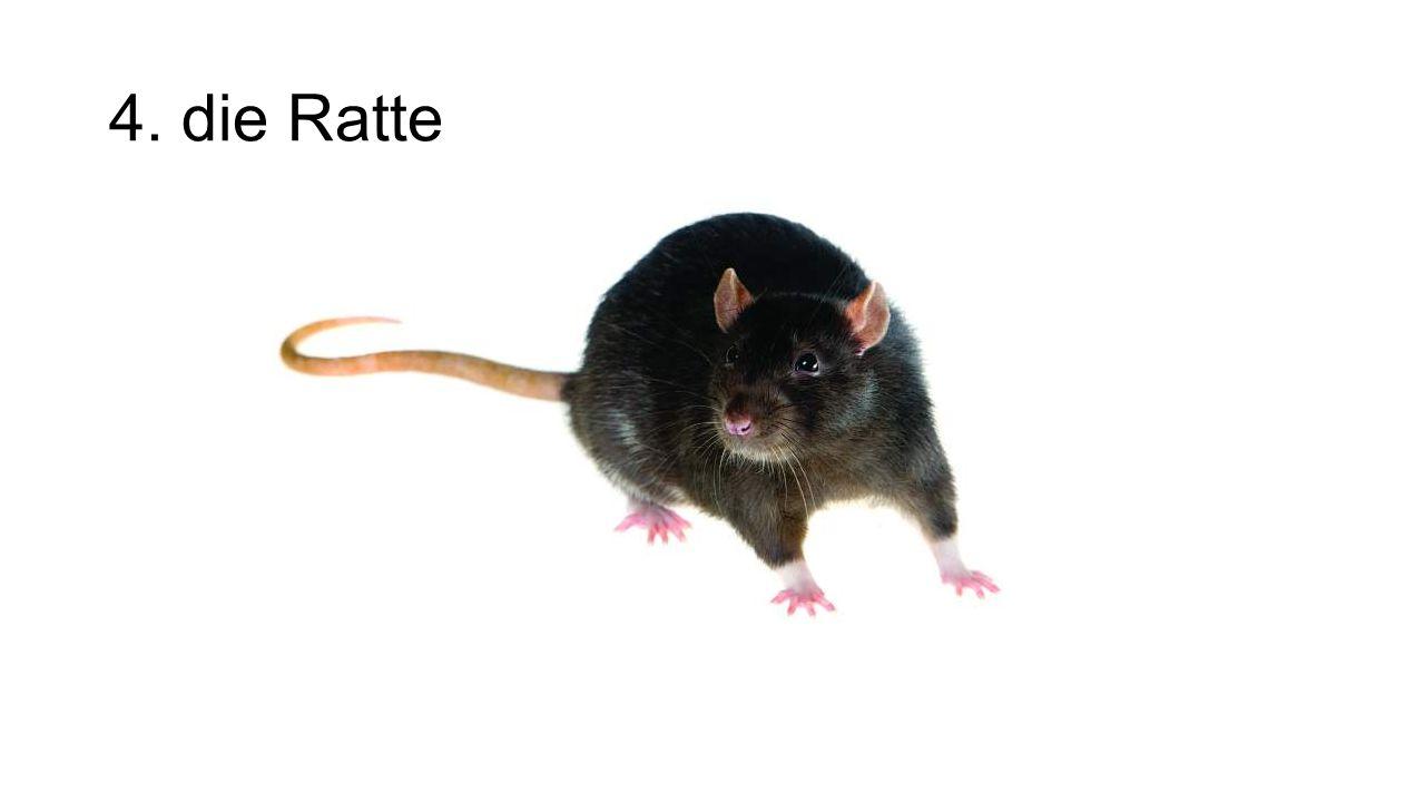 4. die Ratte
