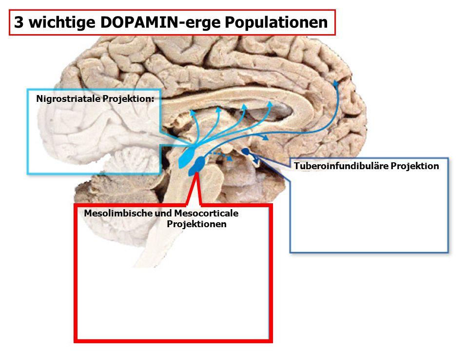 Mesolimbische und Mesocorticale Projektionen Nigrostriatale Projektion: Tuberoinfundibuläre Projektion 3 wichtige DOPAMIN-erge Populationen