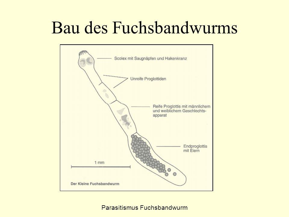 Bau des Fuchsbandwurms Parasitismus Fuchsbandwurm