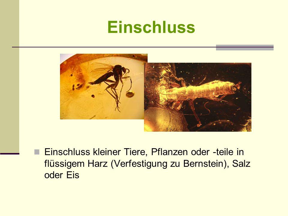 Einschluss Einschluss kleiner Tiere, Pflanzen oder -teile in flüssigem Harz (Verfestigung zu Bernstein), Salz oder Eis
