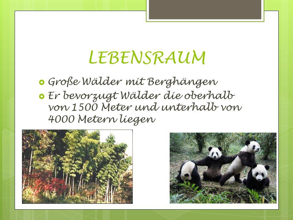 LEBENSRAUM  Große Wälder mit Berghängen  Er bevorzugt Wälder die oberhalb von 1500 Meter und unterhalb von 4000 Metern liegen