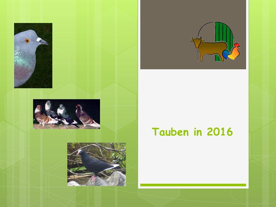 Tauben in 2016