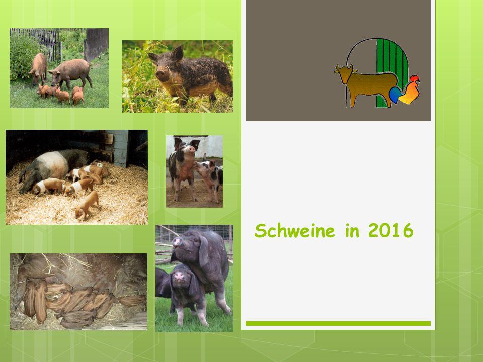 Schweine in 2016