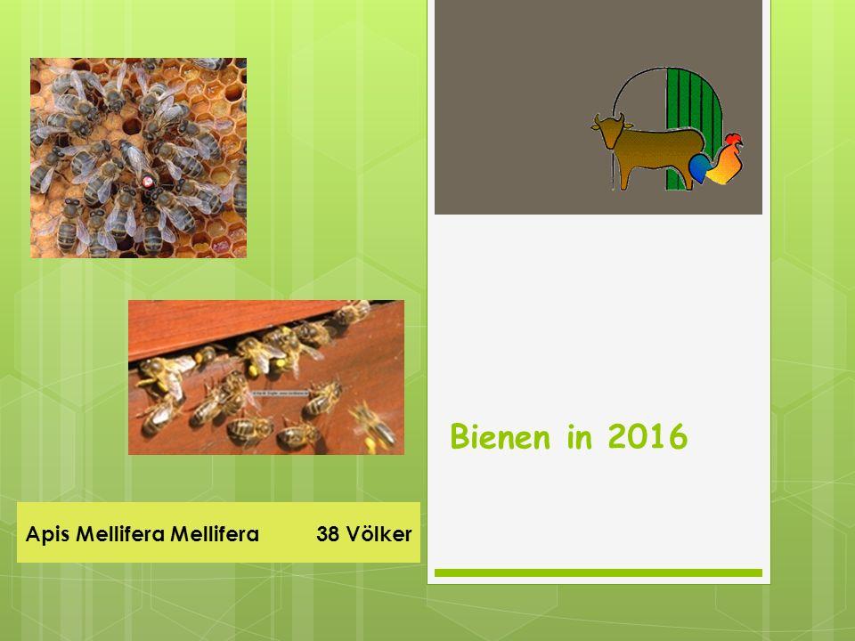 Apis Mellifera Mellifera 38 Völker Bienen in 2016
