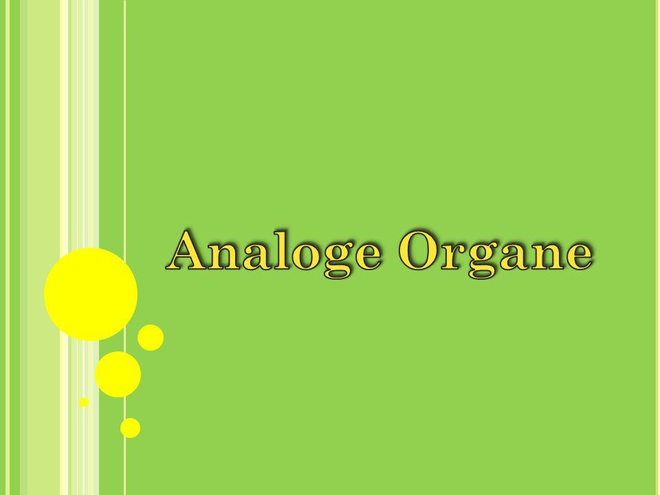 1.Definition Analogie / Konvergenz 2.Beispiele analoger Organe 2.1.