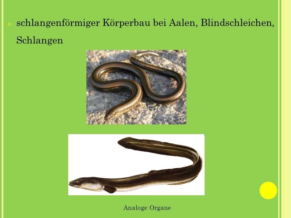 o schlangenförmiger Körperbau bei Aalen, Blindschleichen, Schlangen Analoge Organe