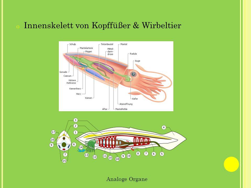 o Innenskelett von Kopffüßer & Wirbeltier Analoge Organe
