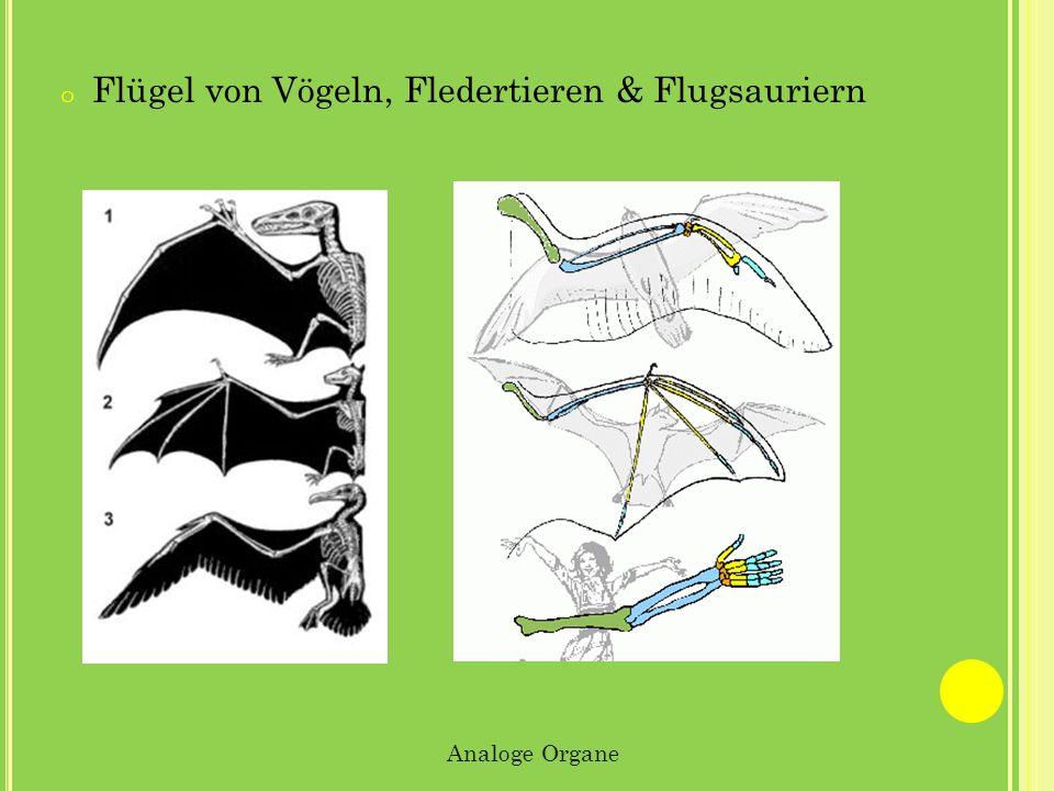 o Flügel von Vögeln, Fledertieren & Flugsauriern Analoge Organe