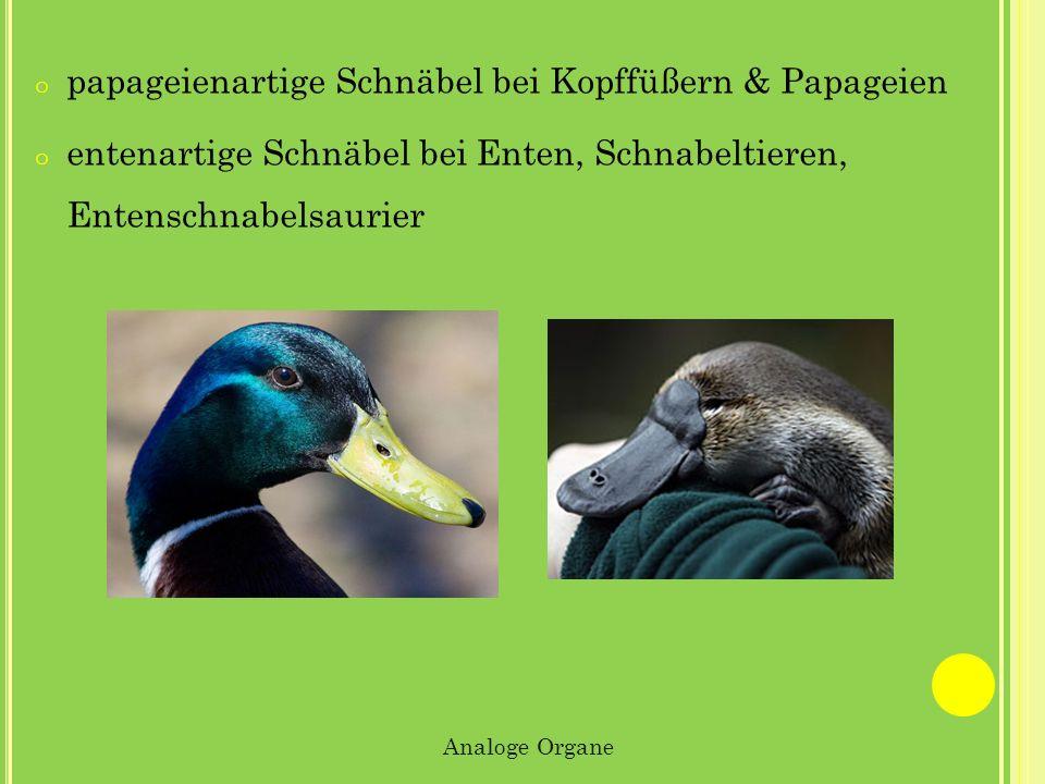 o papageienartige Schnäbel bei Kopffüßern & Papageien o entenartige Schnäbel bei Enten, Schnabeltieren, Entenschnabelsaurier Analoge Organe
