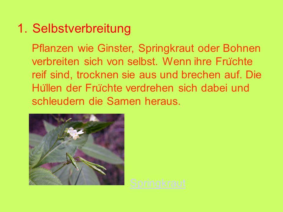 1. Selbstverbreitung Springkraut Pflanzen wie Ginster, Springkraut oder Bohnen verbreiten sich von selbst. Wenn ihre Fru ̈ chte reif sind, trocknen si
