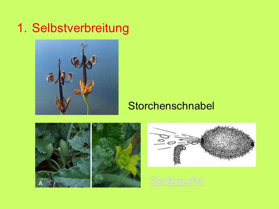 1. Selbstverbreitung Storchenschnabel Spritzgurke