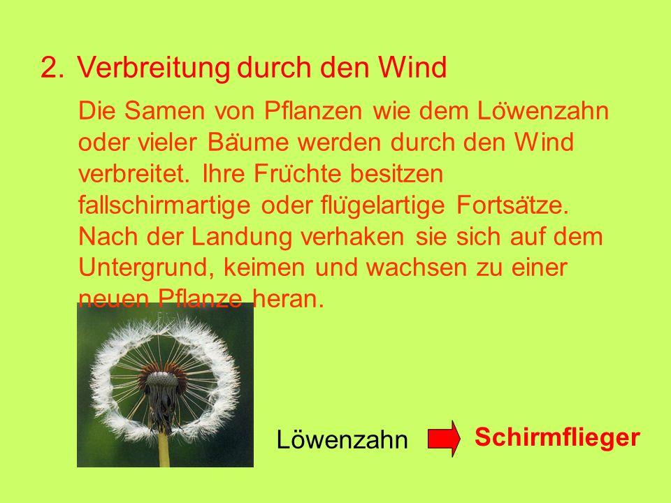 2. Verbreitung durch den Wind Löwenzahn Die Samen von Pflanzen wie dem Lo ̈ wenzahn oder vieler Ba ̈ ume werden durch den Wind verbreitet. Ihre Fru ̈