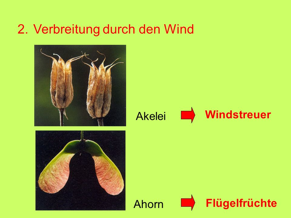 2. Verbreitung durch den Wind Akelei Windstreuer Ahorn Flügelfrüchte