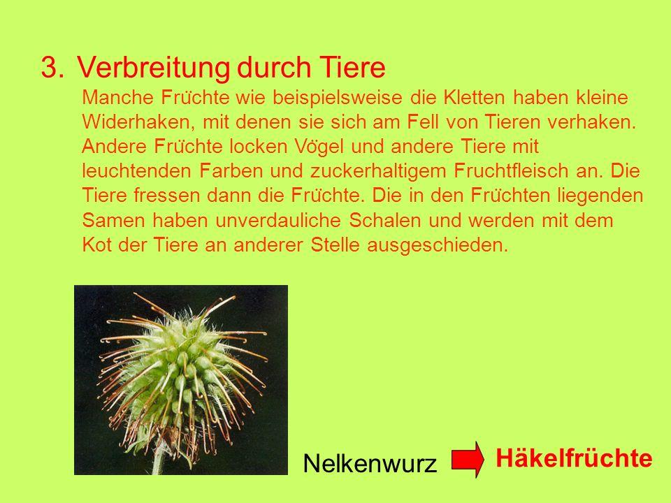 3. Verbreitung durch Tiere Nelkenwurz Häkelfrüchte Manche Fru ̈ chte wie beispielsweise die Kletten haben kleine Widerhaken, mit denen sie sich am Fel