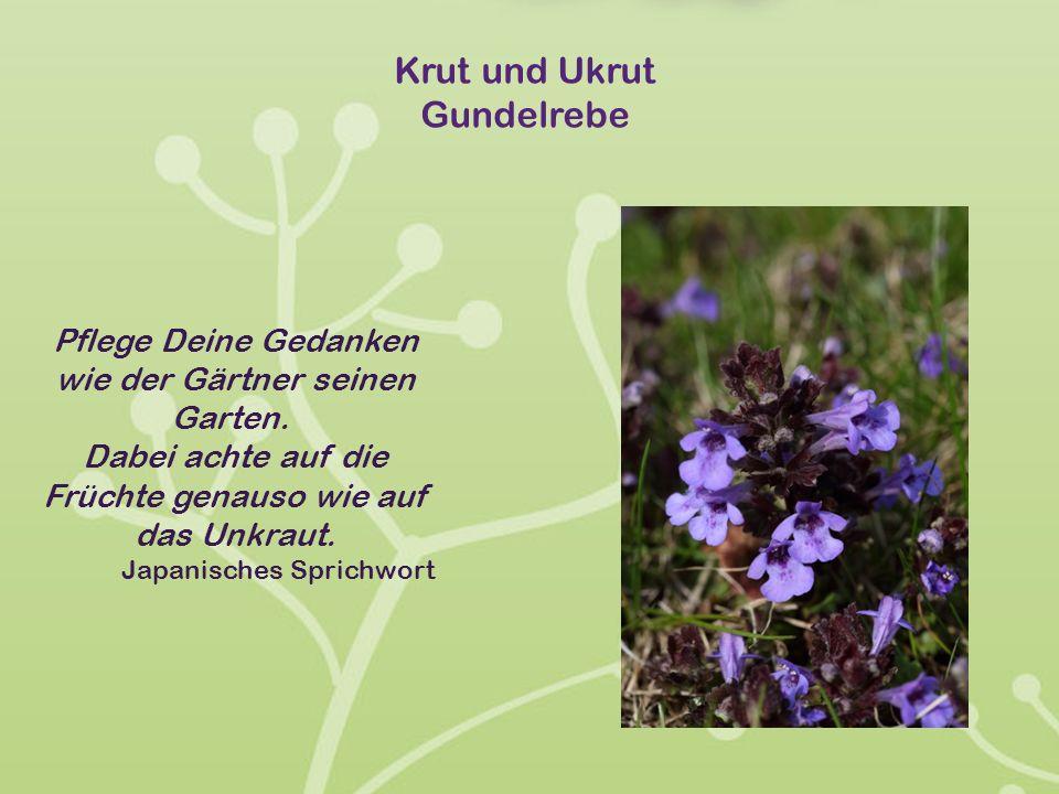 Krut und Ukrut Gundelrebe Pflege Deine Gedanken wie der Gärtner seinen Garten. Dabei achte auf die Früchte genauso wie auf das Unkraut. Japanisches Sp