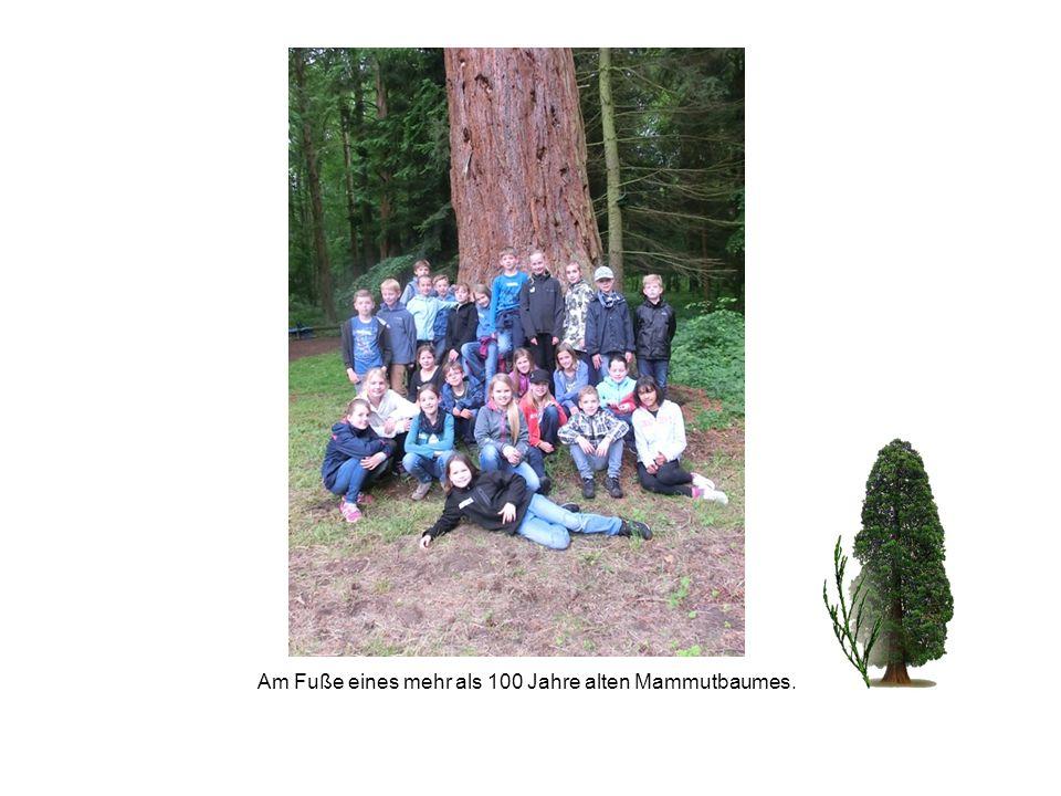Am Fuße eines mehr als 100 Jahre alten Mammutbaumes.