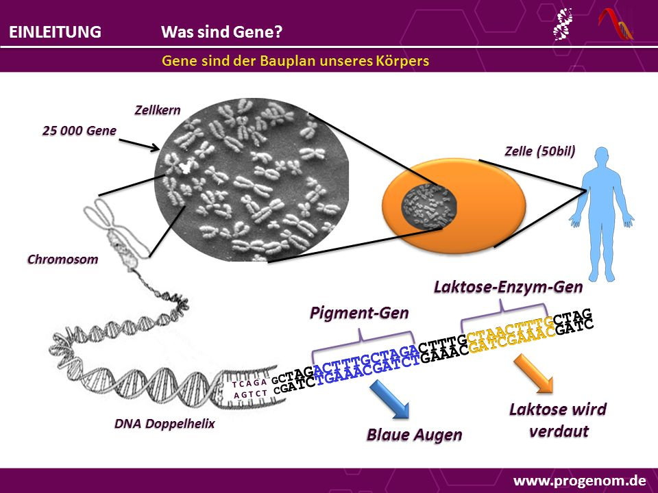 www.progenom.de EINLEITUNGWas sind Gene? Gene sind der Bauplan unseres Körpers Pigment-Gen Laktose-Enzym-Gen T C A G A A G T C T G C T AGACTTTGCTAGACT