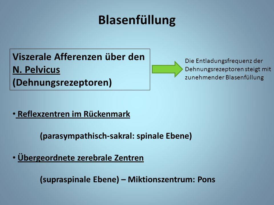 Blasenfüllung Viszerale Afferenzen über den N. Pelvicus (Dehnungsrezeptoren) Die Entladungsfrequenz der Dehnungsrezeptoren steigt mit zunehmender Blas
