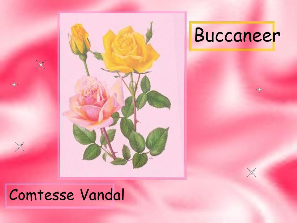 Buccaneer Comtesse Vandal