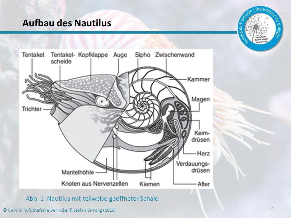 5 © Carolin Ruß, Stefanie Bernickel & Stefan Birrong (2016) Systematik der Nautiloidea Überstamm:Lophotrochozoa Stamm:Mollusca (Weichtiere) Klasse:Cephalopoda (Kopffüßer) Unterklasse:Palcephalopoda (Altkopffüßer) Ordnung:Nautilida Familie:Nautilidae (Perlboote)