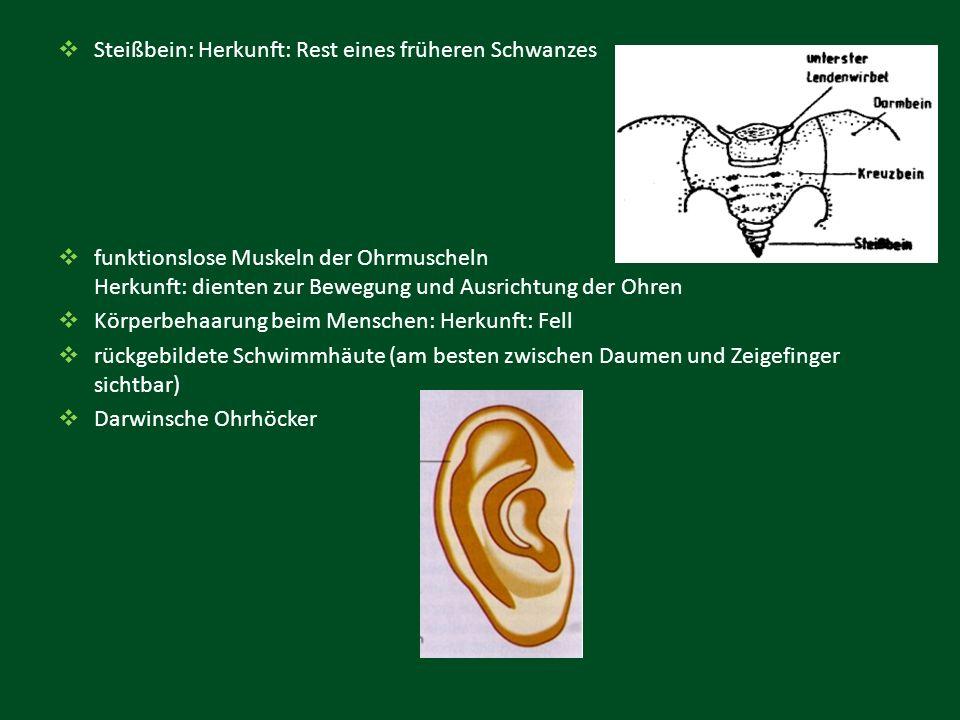  Steißbein: Herkunft: Rest eines früheren Schwanzes  funktionslose Muskeln der Ohrmuscheln Herkunft: dienten zur Bewegung und Ausrichtung der Ohren