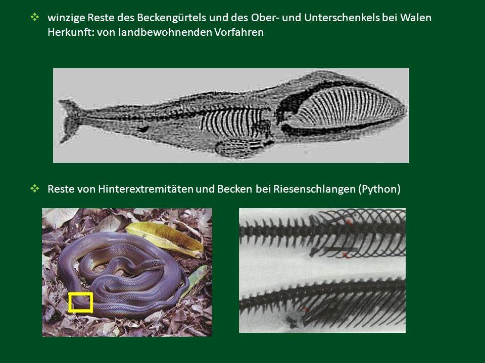  winzige Reste des Beckengürtels und des Ober- und Unterschenkels bei Walen Herkunft: von landbewohnenden Vorfahren  Reste von Hinterextremitäten un