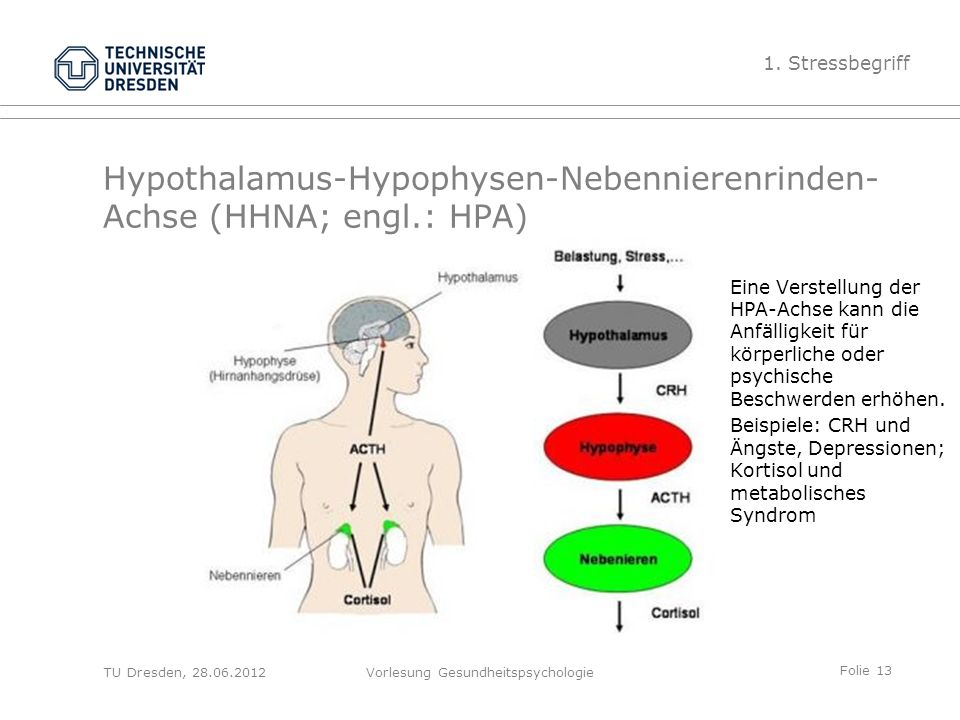 Tolle Erhöhen Hypophyse Funktion Galerie - Menschliche Anatomie ...