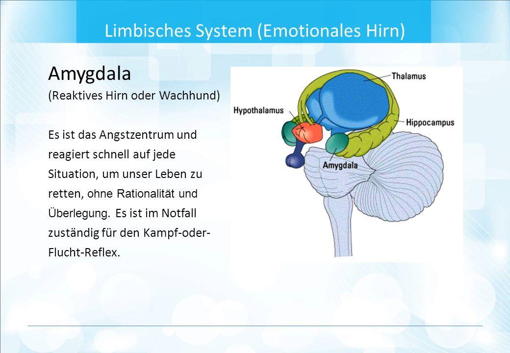 Amygdala (Reaktives Hirn oder Wachhund) Es ist das Angstzentrum und reagiert schnell auf jede Situation, um unser Leben zu retten, ohne Rationalität und Überlegung.